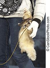 Ferret on walk climbing on human friend