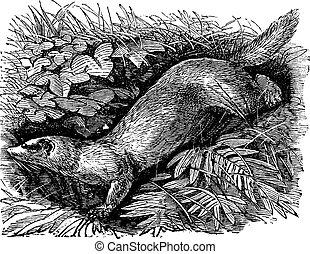 Ferret or Mustela putorius furo vintage engraving.