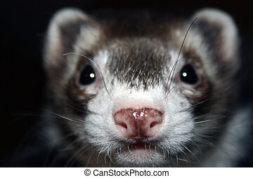ferret - close up of an adorable ferret\'s face