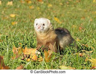 Ferret play autumn meadow