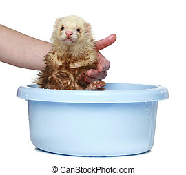 Ferret (polecat) wash in water on a white background