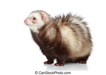 Ferret posing on a white background