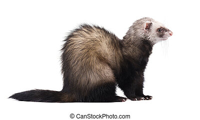 Ferret sitting and looking away, isolated on white background