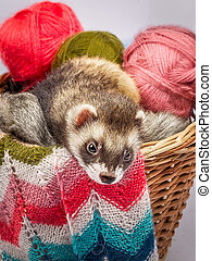 Ferret sitting in a basket