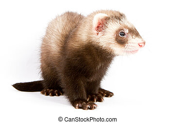 Ferret sitting and looking away in front of white background
