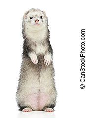 Ferret standing on a white background