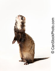 Ferret standing on two legs. Taken indoors and isolated on white.