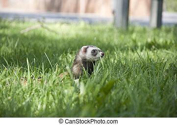 ferret walking in the grass