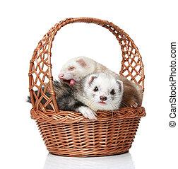 ferrets, cesta, acostado