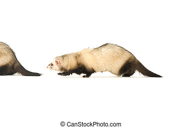 Ferrets - Ferret isolated on a white background