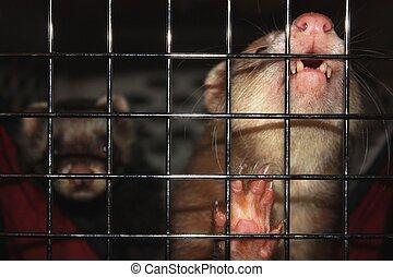 Ferrets in a carrier. - Ferrets in a carrier waiting.
