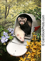 Ferrets in a Mailbox - Two ferrests emerge from the inside...