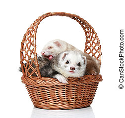 Ferrets lying in basket on a white background