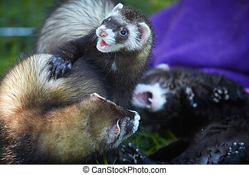 Ferrets playing in summer garden with friends - Ferret...