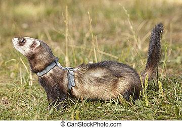 Ferrets playing on summer grass meadow - Ferrets on summer...