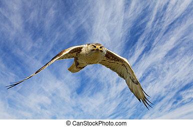 Ferruginous flight - A large hawk in flight staring at the ...