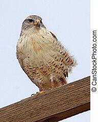 Ferruginous Hawk 1