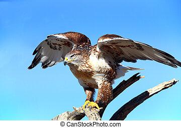 Ferruginous Hawk about to take flight