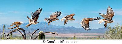 Ferruginous Hawk flying. Isolated hawk Sequence blue sky - ...