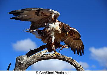 Ferruginous Hawk in the southwest desert