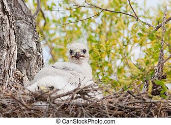Ferruginous Hawk Nest - Young Ferruginous hawk chicks in ...
