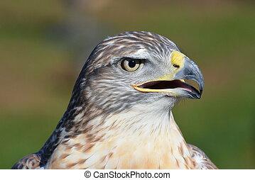 Ferruginous hawk profile-1
