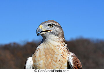 Ferruginous hawk profile-2