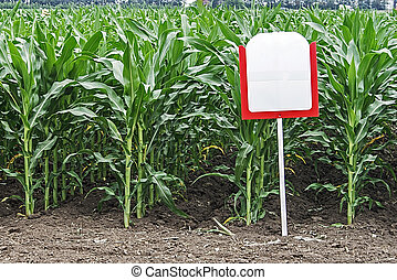 Fertile maize in an agricultural research station