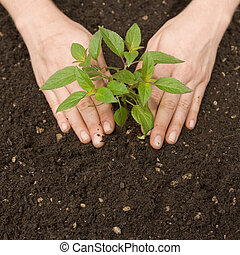 hands pressing small plant into fresh soil