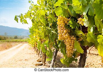 fertile valley in south france - ripe juicy grape in fertile...