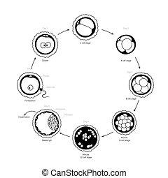 fertilidad, concepto, humano