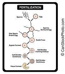 Fertilization of Human Egg and Sperm Diagram
