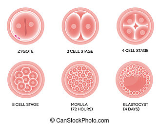Fertilized egg development. Isolated on a white background.