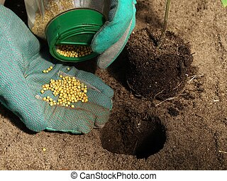 Fertilizer for tomatoes - Putting fertilizer for a tomato...