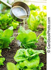 fertilizes, campo, alface