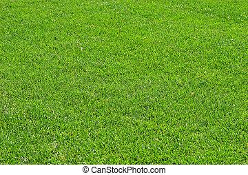 fescue, herbe