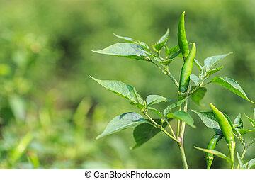 Fesh hot chilli on tree in field or garden