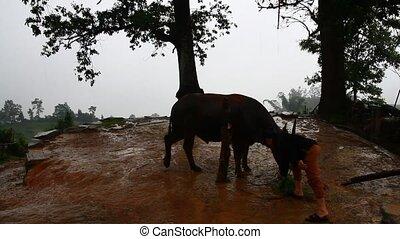 festival eat Buffalo meat in Vietnam