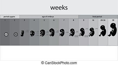 fetus stages, vector