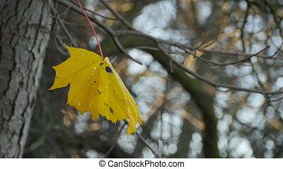 feuille, érable, jaune