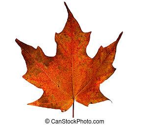 feuille, érable rouge, automne