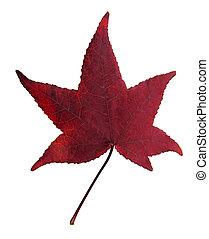 feuille, érable rouge