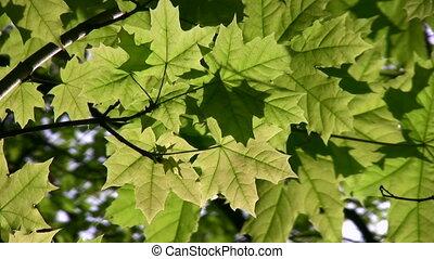 feuille, arbre, érable