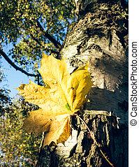 feuille arbre, érable
