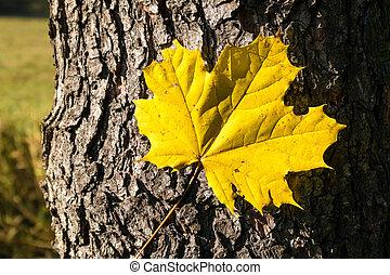 feuille, arbre, -, automne, bois, structure, écorce, érable
