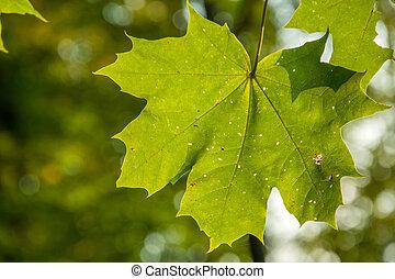 feuille arbre, vert, érable, pendre