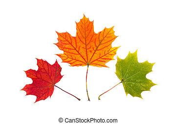 feuille, automne, blanc