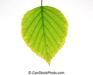 Feuille verte arbre bouleau feuille arbre isol vert - Feuille de bouleau photo ...