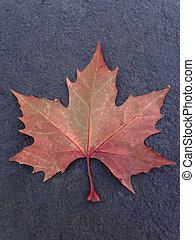 feuille automne, séché, érable, terrestre