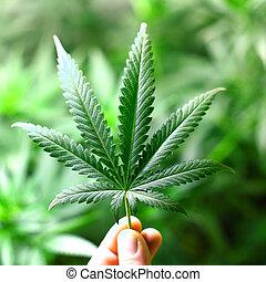 feuille, cannabis